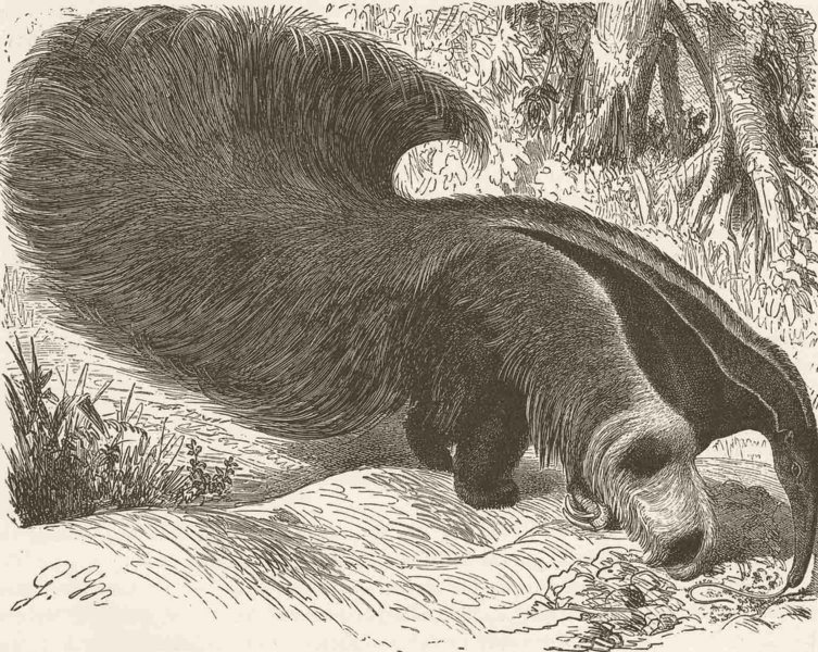 Associate Product EDENTATES. Great ant-eater, with tail elevated 1894 old antique print picture