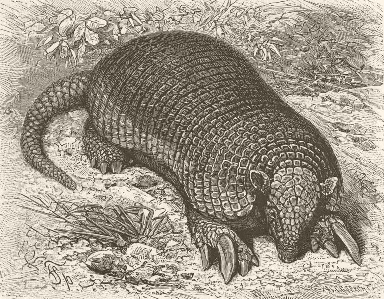 Associate Product EDENTATES. The giant armadillo 1894 old antique vintage print picture