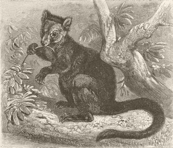 Associate Product MARSUPIALS. The black tree-kangaroo 1894 old antique vintage print picture