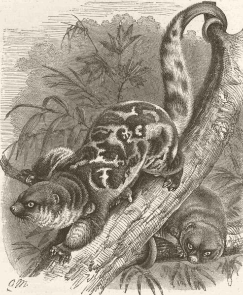 Associate Product MARSUPIALS. The spotted cuscus 1894 old antique vintage print picture