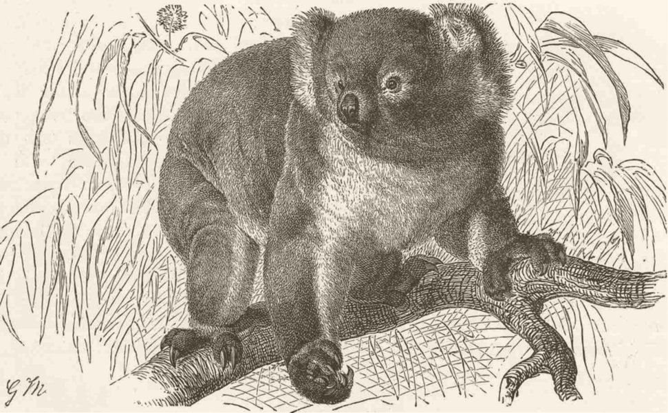 Associate Product MARSUPIALS. The koala bear 1894 old antique vintage print picture