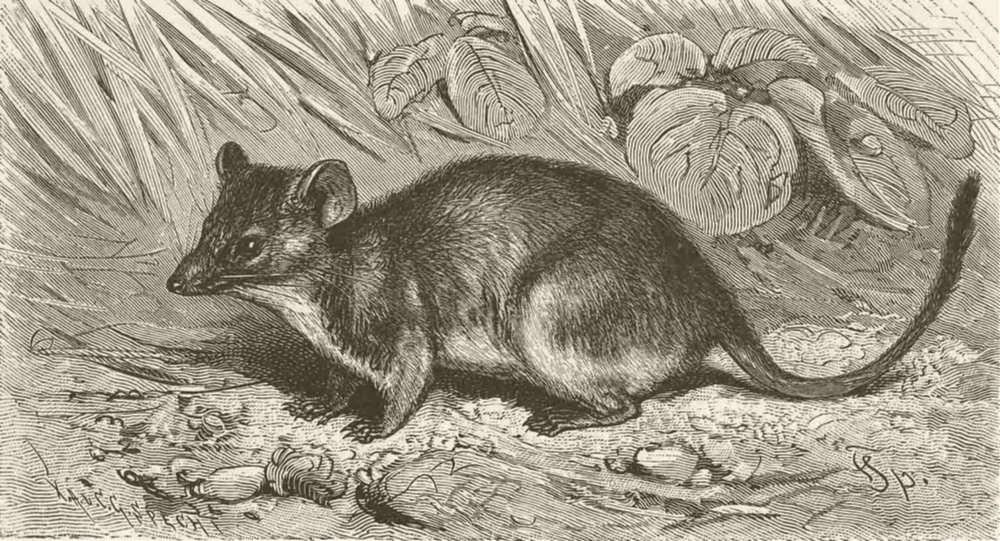 Associate Product MARSUPIALS. Yellow-footed pouched-mouse 1894 old antique vintage print picture