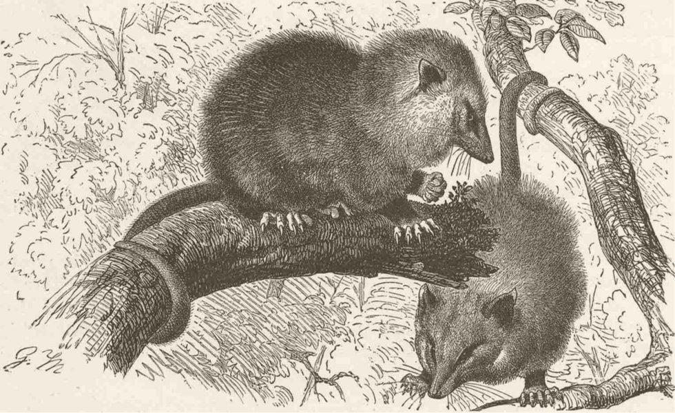 Associate Product MARSUPIALS. Common opossum 1894 old antique vintage print picture