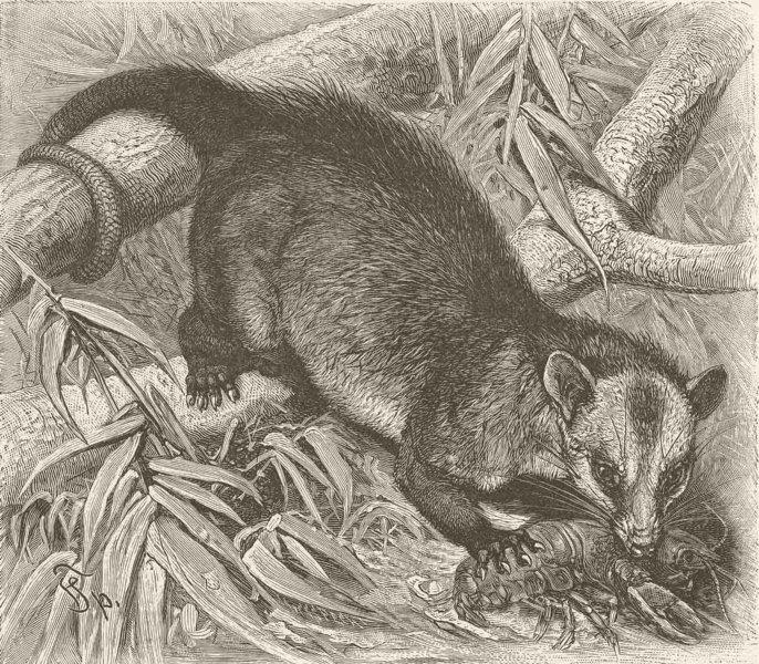 Associate Product MARSUPIALS. Philander opossum 1894 old antique vintage print picture