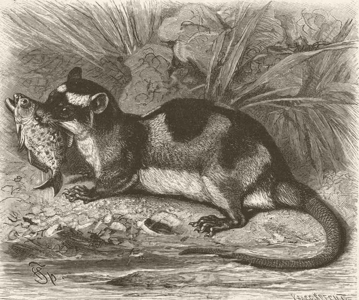 Associate Product MARSUPIALS. Water-opossum 1894 old antique vintage print picture