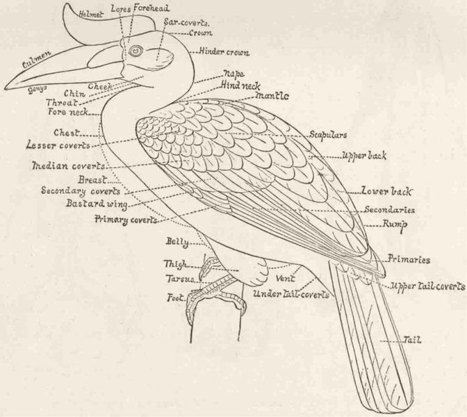 Associate Product BIRDS. Diagram of a bird, to illustrate plumage 1894 old antique print picture