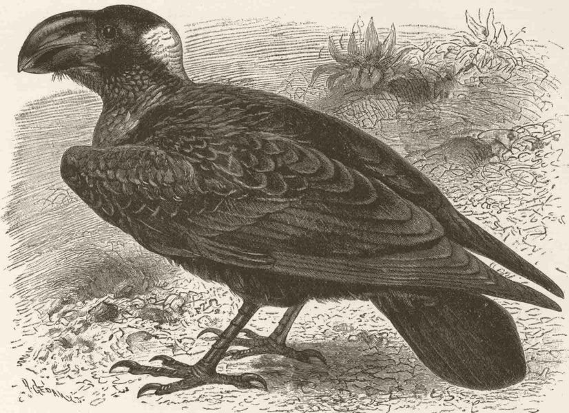 Associate Product PERCHING BIRDS. Thick-billed raven 1894 old antique vintage print picture