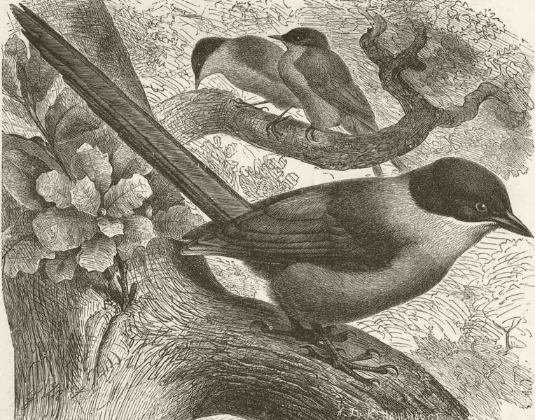 Associate Product PERCHING BIRDS. Azure-winged magpie 1894 old antique vintage print picture