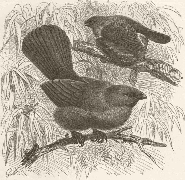 Associate Product PERCHING BIRDS. Grey Struthidea 1894 old antique vintage print picture