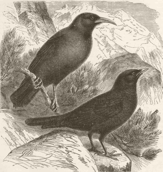 Associate Product PERCHING BIRDS. Red-billed and alpine chough 1894 old antique print picture