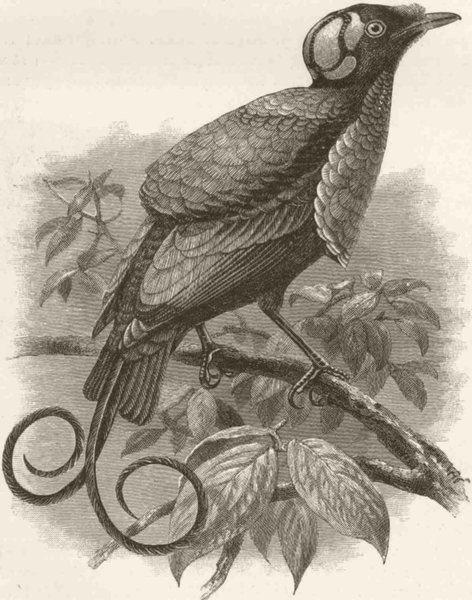Associate Product PERCHING BIRDS. Wilson's bird of paradise  (Guillemard Marchesa cruise) 1894