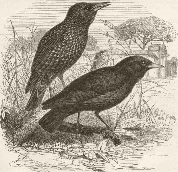Associate Product PERCHING BIRDS. Common and black starling 1894 old antique print picture
