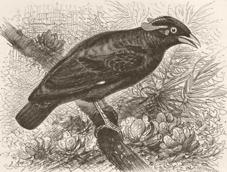 Associate Product PERCHING BIRDS. Southern grackle 1894 old antique vintage print picture