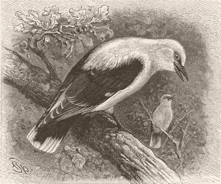 Associate Product PERCHING BIRDS. The golden oriole 1894 antique vintage print picture