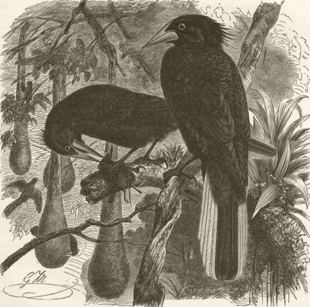 Associate Product PERCHING BIRDS. The Crested Cassique 1894 old antique vintage print picture