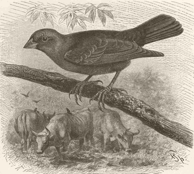 Associate Product PERCHING BIRDS. The common cow-bird 1894 old antique vintage print picture