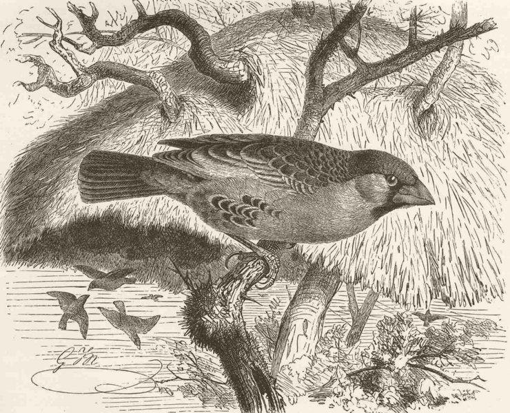 Associate Product PERCHING BIRDS. Sociable weaver-bird 1894 old antique vintage print picture