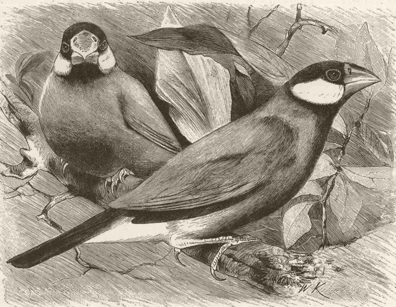 Associate Product PERCHING BIRDS. Java sparrow 1894 old antique vintage print picture