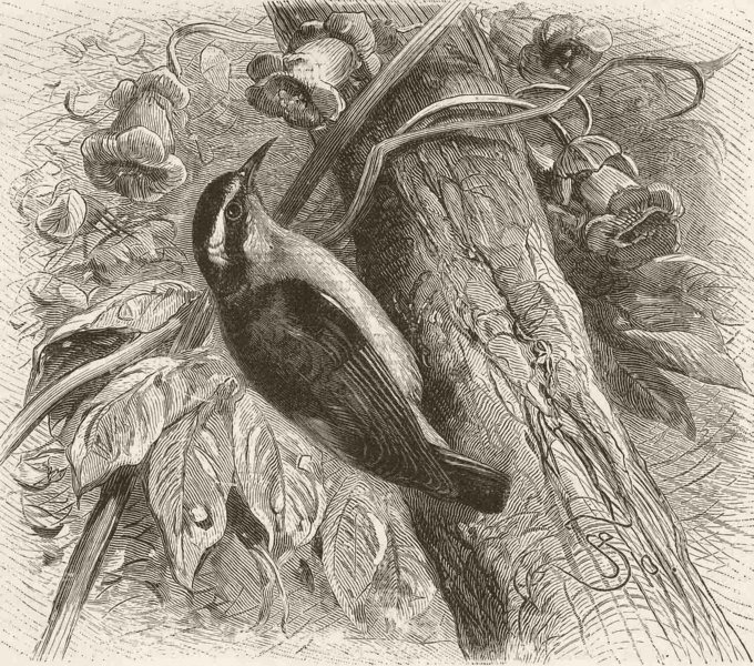 Associate Product PERCHING BIRDS. West Indian honey-creeper or banana-quit 1894 old print