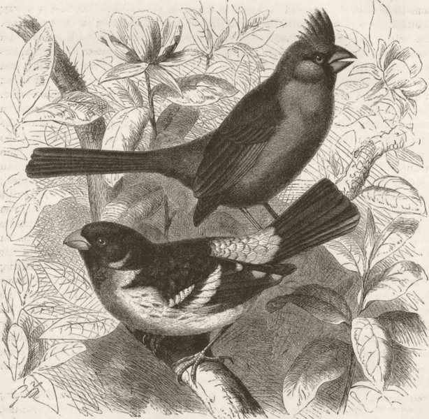 Associate Product PERCHING BIRDS. Red cardinal & rose-breasted grosbeak 1894 old antique print