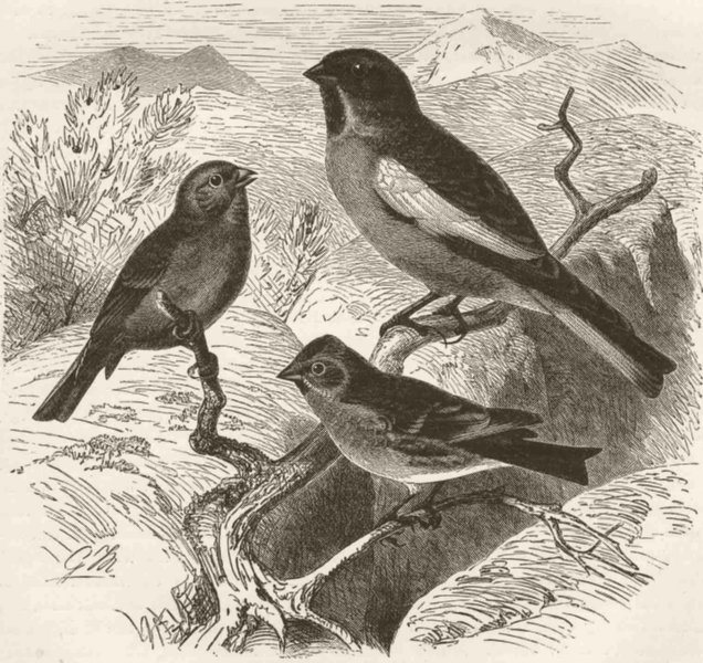 Associate Product PERCHING BIRDS. Citril finch, snow-finch & lesser redpoll 1894 old print