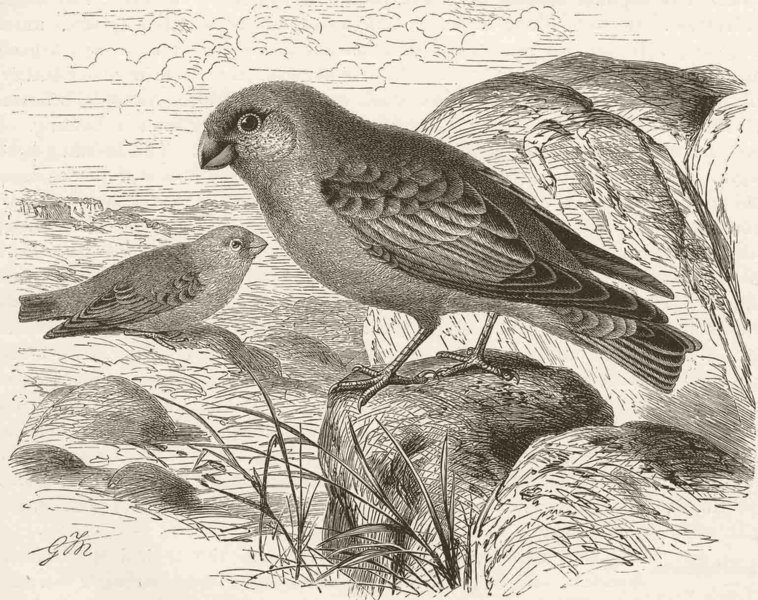 Associate Product PERCHING BIRDS. Desert-finch 1894 old antique vintage print picture