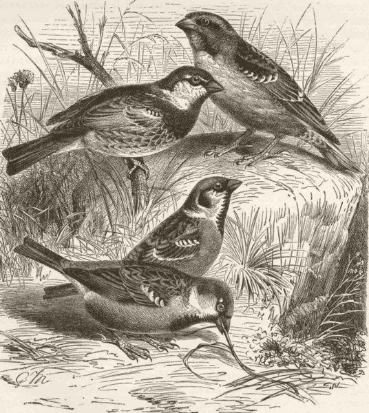 Associate Product SPARROWS. Rock-sparrow, Spanish sparrow, Tree-sparrow & House-sparrow 1894