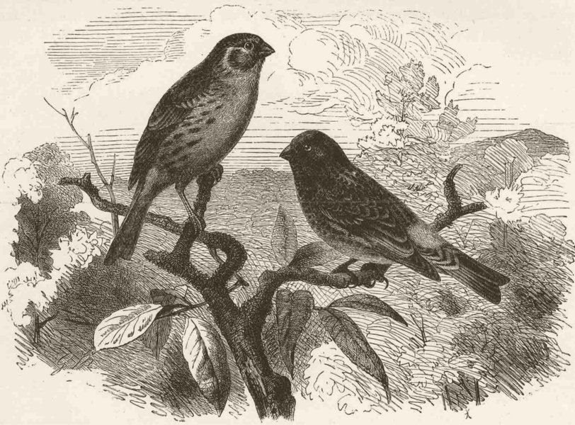 Associate Product PERCHING BIRDS. Serin & red-fronted finches 1894 old antique print picture