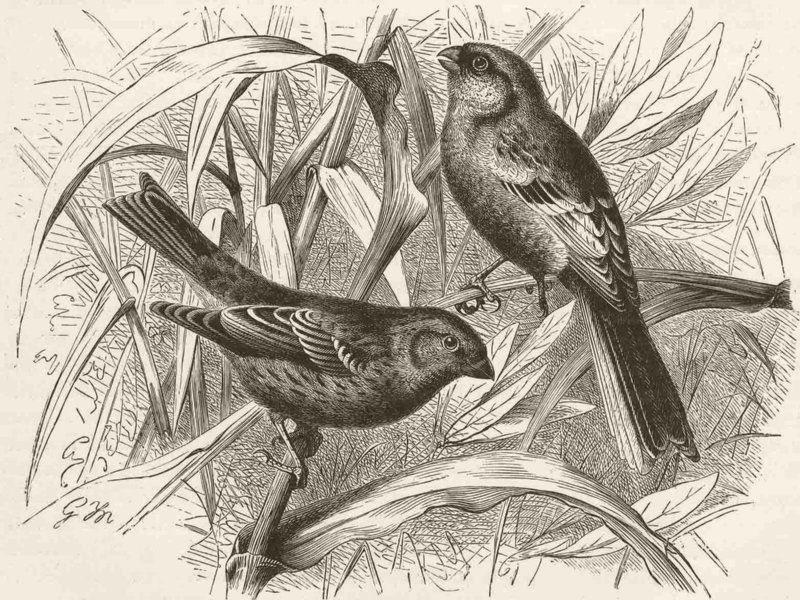 Associate Product PERCHING BIRDS. Scarlet & Siberian grosbeaks 1894 old antique print picture