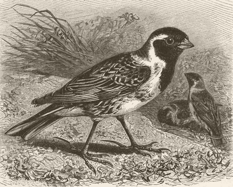 Associate Product PERCHING BIRDS. Lapland bunting 1894 old antique vintage print picture
