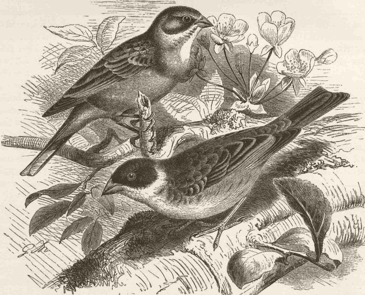 Associate Product PERCHING BIRDS. Ortolan bunting & black-headed bunting 1894 old antique print