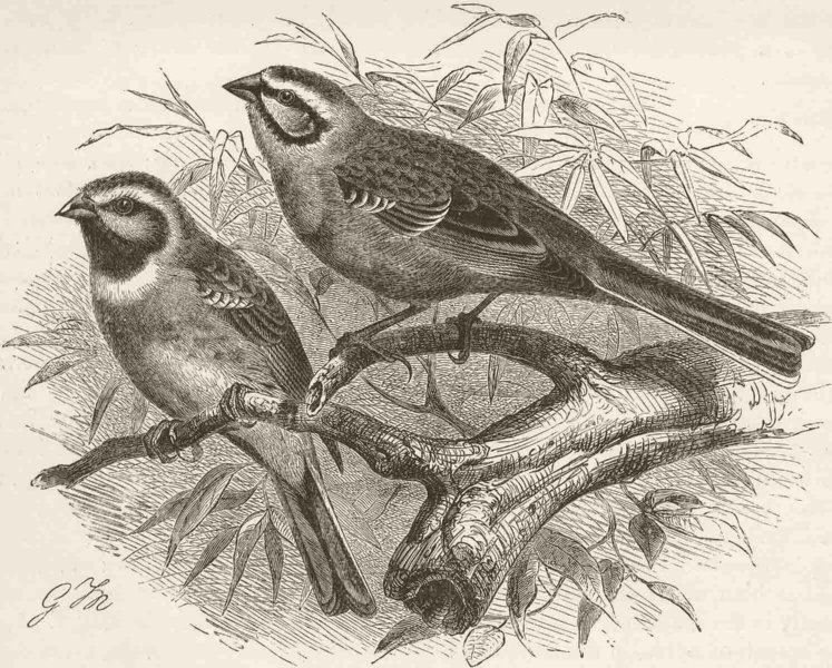 Associate Product PERCHING BIRDS. Cirl bunting & meadow-bunting 1894 old antique print picture