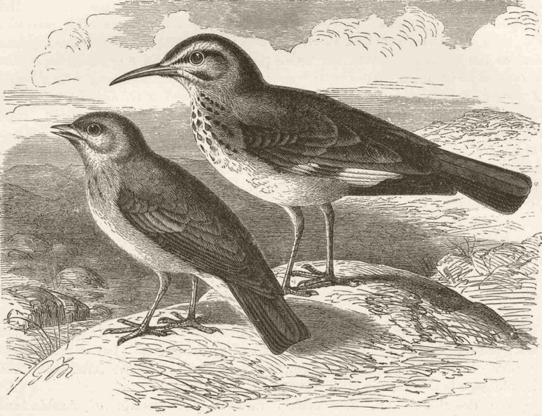 Associate Product PERCHING BIRDS. African finch-lark & desert-lark 1894 old antique print