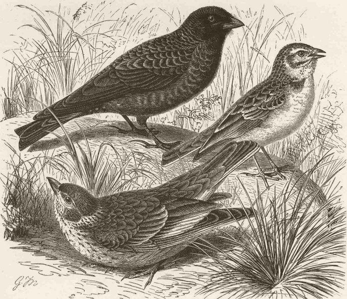 PERCHING BIRDS. Black lark, white-winged & short-toed lark 1894 old print