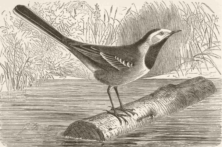 Associate Product PERCHING BIRDS. The white wagtail 1894 old antique vintage print picture