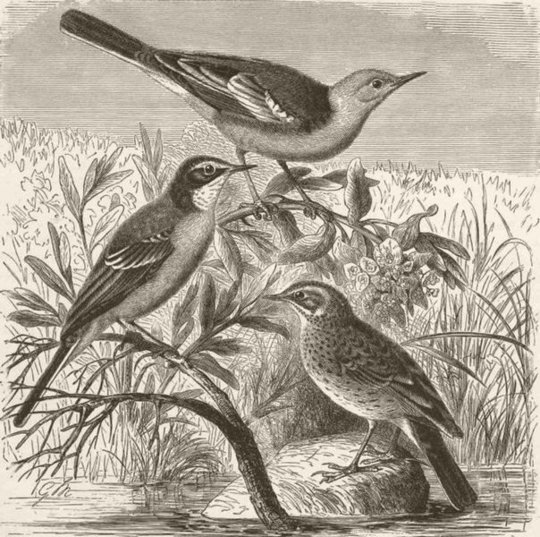 Associate Product PERCHING BIRDS. Yellow-headed & blue-wagtails; meadow-pipit 1894 old print