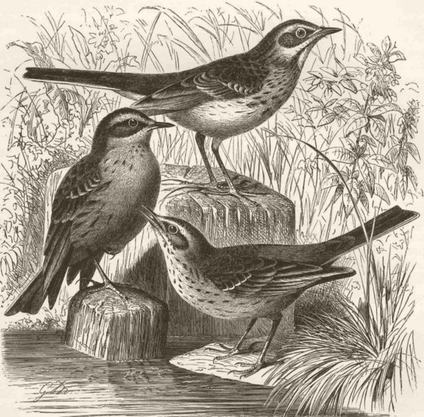 Associate Product PERCHING BIRDS. Richard's pipit, water-pipit & tawny pipit 1894 old print
