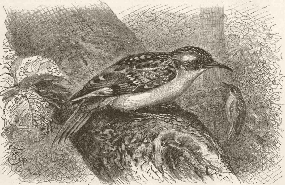 Associate Product PERCHING BIRDS. The tree-creeper 1894 old antique vintage print picture