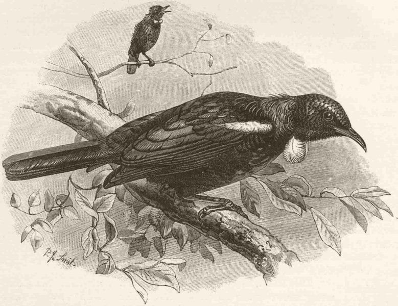 Associate Product PERCHING BIRDS. Poe honey-eater or parson bird 1894 old antique print picture