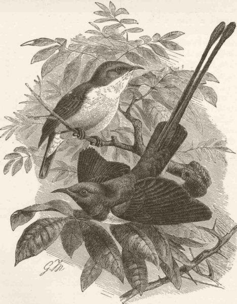 Associate Product PERCHING BIRDS. Male & female of the metallic sun-bird 1894 old antique print