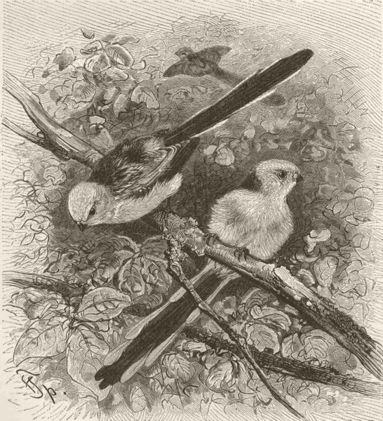 Associate Product PERCHING BIRDS. White-headed long-tailed tit 1894 old antique print picture