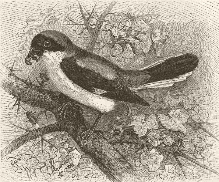 Associate Product PERCHING BIRDS. Lesser grey shrike 1894 old antique vintage print picture