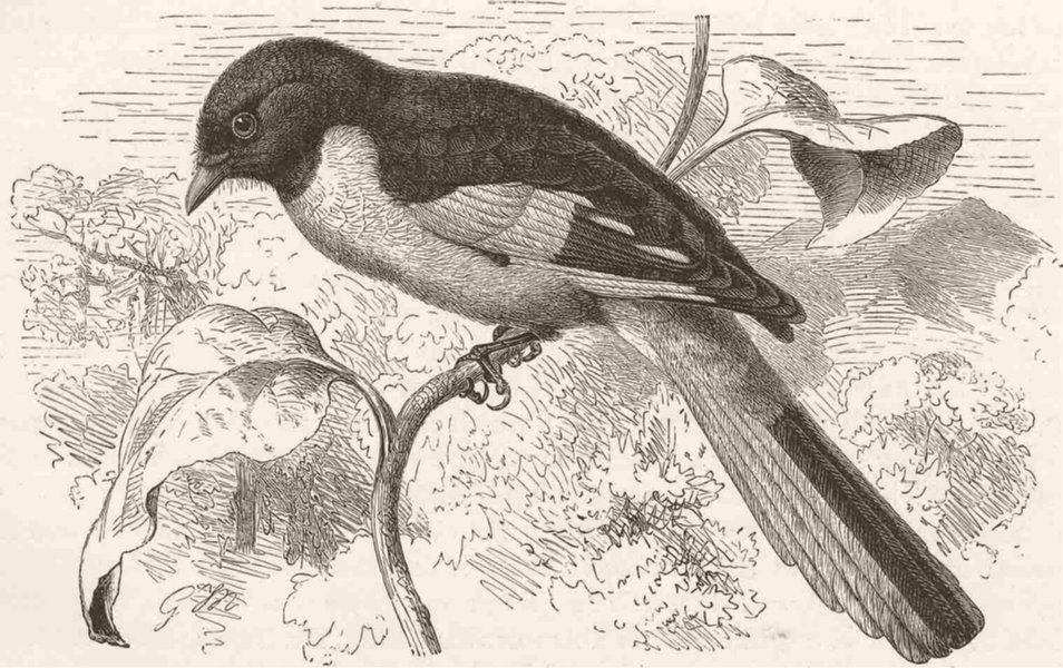 PERCHING BIRDS. Indian scarlet Minivet 1894 old antique vintage print picture
