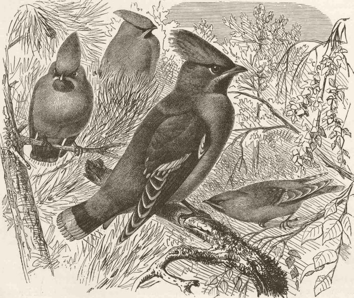 Associate Product PERCHING BIRDS. Bohemian waxwing 1894 old antique vintage print picture