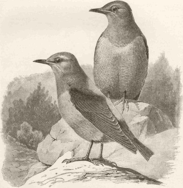 Associate Product PERCHING BIRDS. A pair of rock-thrushes 1894 old antique vintage print picture