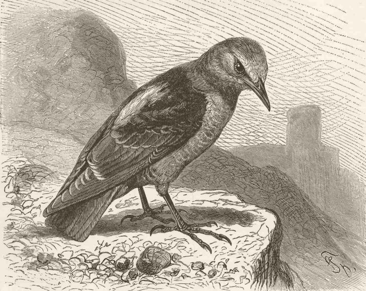 Associate Product PERCHING BIRDS. Rock-thrush 1894 old antique vintage print picture
