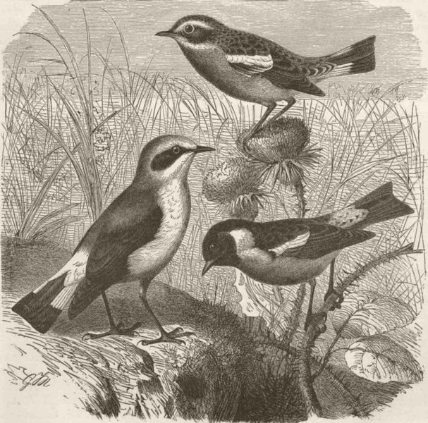 Associate Product PERCHING BIRDS. Wheatear, whinchat & stonechat 1894 old antique print picture