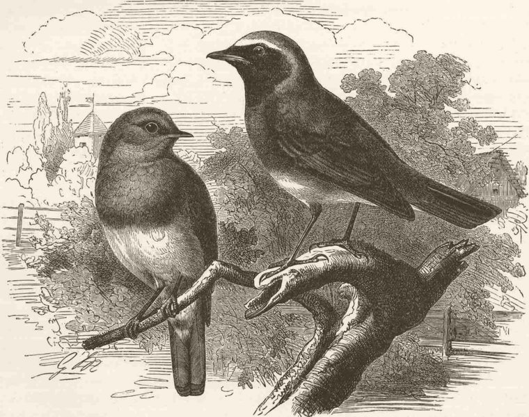 Associate Product PERCHING BIRDS. Redbreast and redstart 1894 old antique vintage print picture