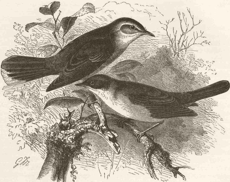 Associate Product PERCHING BIRDS. Rufous and Orphean warblers 1894 old antique print picture