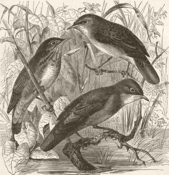 Associate Product PERCHING BIRDS. Grasshopper, river & Savi's warblers 1894 old antique print
